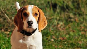 Different kinds of beagle s