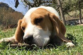 Best Dog Brush for Beagles