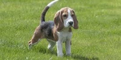 beagle traits of breed