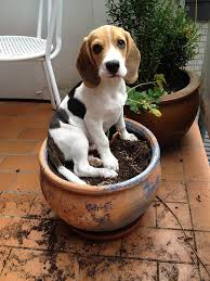 beagle traits of breed dog sitting on a patch of soil in a potted plant