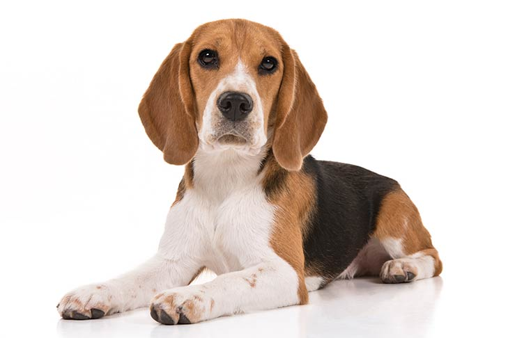 How many types of beagles are there?