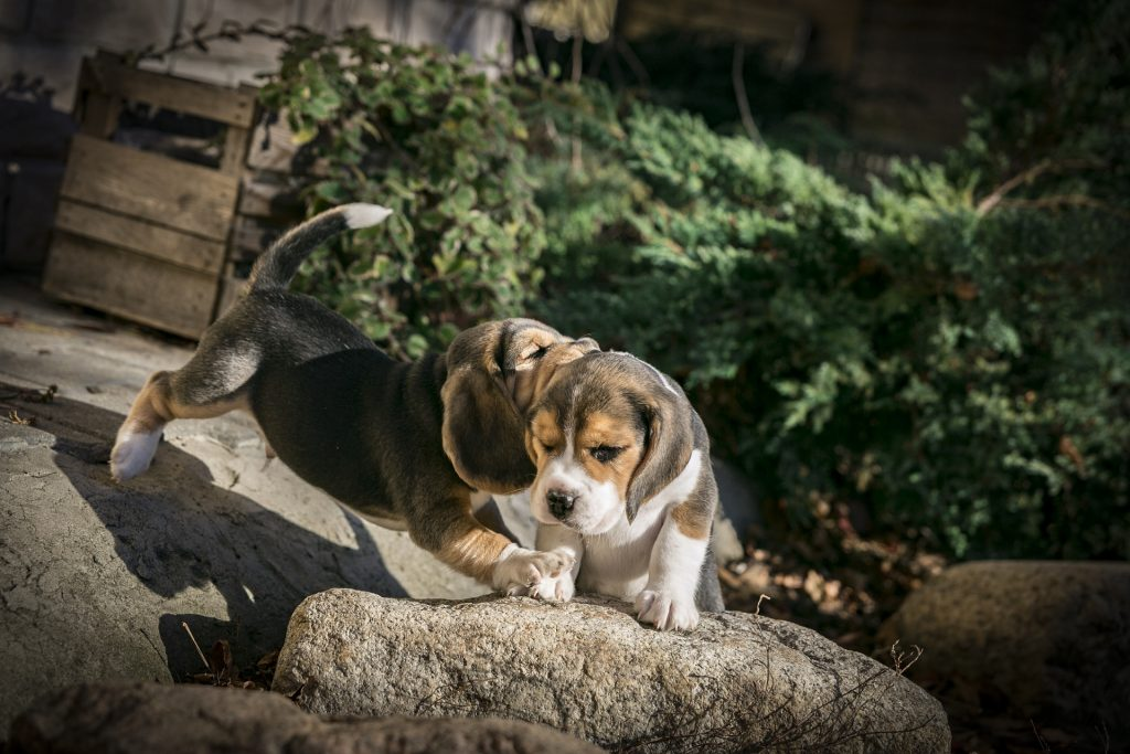 How Much Exercise Does a Beagle Need? The Best Exercises for Him!