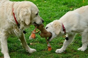 Dogs playing with chew toy