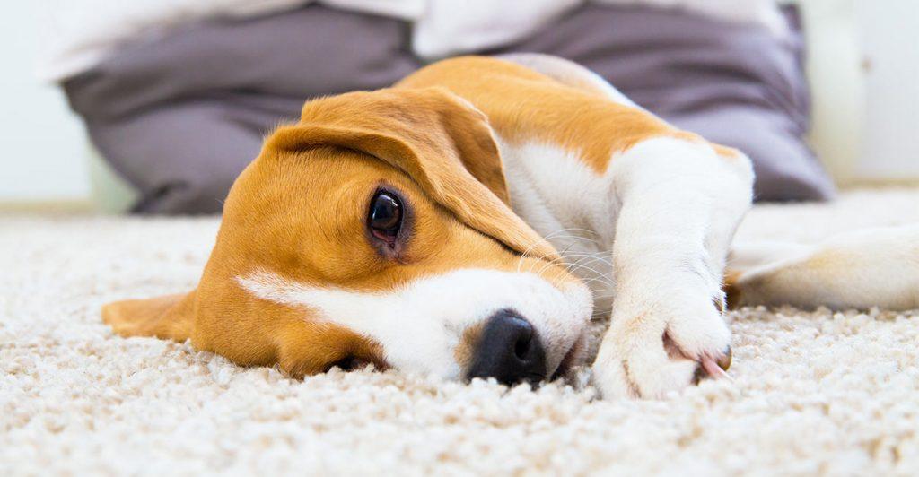 When do beagles calm down?
