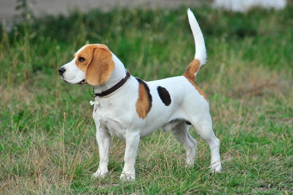 Why Do Beagles Howl All the Time?